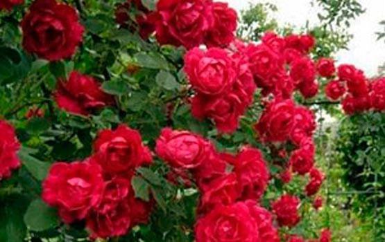 Розы дешево купить саженцы