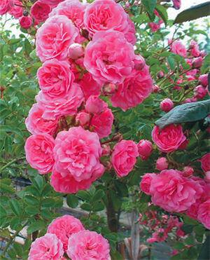 Розы плетистые саженцы в минске купить купить слингоплащ цветы
