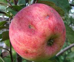 болезни плодовых